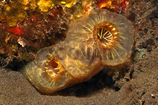 Yellow Sea Squirt, Phallusia julinea