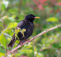 Closeup of a common starling