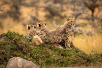 Cheetah cub sits on mound with siblings