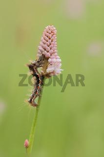 Ampfer-Rindeneule (Acronicta rumicis)
