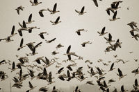 Thousands of geese (bean goose and white-fronted goose