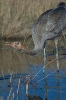 Common crane (Grus grus). Juvenile drinking water. Gallocanta Lagoon Natural Reserve. Aragon. Spain.