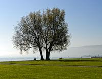 Baum im Gegenlicht in einem Park am Bodensee, Arbon, Schweiz
