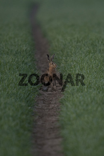 der Weizen spießt... Feldhase * Lepus europaeus *