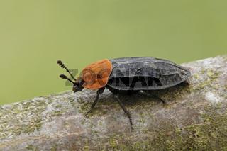 Rothalsige Silphe (Oiceoptoma thoracicum)