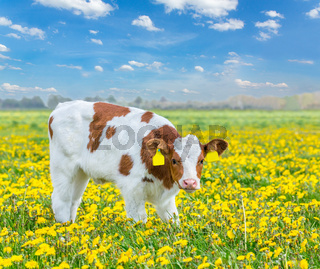 One red Holstein calf standing in meadow with dandelions