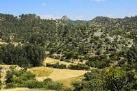 Landschaft mit Kandelaber-Bäumen (Euphorbia candelabrum), Wukro, Tigray, Äthiopien