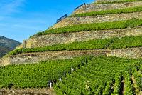 Steile Weinbergterassen auf Trockenmauern aus Naturstein, Weingut Quinta de la Rosa, Pinhao,Portugal