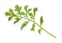 Gartenkresse, Lepidium Sativum