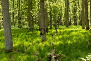Darsser Wald 003. Fischland Darss Zingst. Deutschland