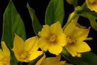 Punktierter Gilbweiderich (Lysimachia punctata)