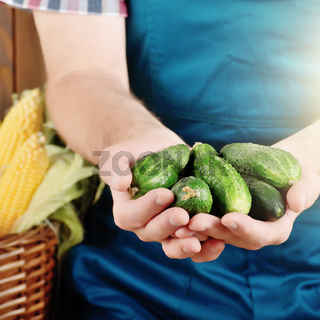 Farmer hold fresh organic cucumbers in his hands. Vegetable harvest concept