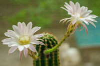 Two flowers a cactus