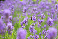 Violet lavender field with wasp in the summer, nature beauty