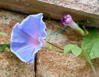 Trichterwinde, Dreifarbige Prunkwinde, Ipomoea purpurea