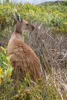 Western Grey Kangaroo, Macropus fuliginosus
