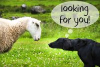 Dog Meets Sheep, Text Looking For You