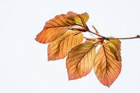 Beech leaves spring harmony