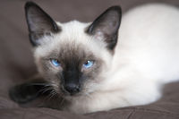 the kitten (Siamese type