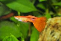 Portrait of aquarium fish - guppy (Poecilia reticulata) in a aquarium