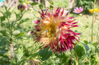 Flower of Dahlia flowers in a home-made flower garden. The bee collects nectar from Dahlia. Closeup. A summer flower lit by soft sunlight.