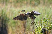 Purpurreiher baut ein Nest