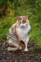 Sitting Domestic Cat