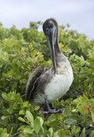 Brauner Pelikan (Pelicanus Occidentalis urinator) putzt sein Gefieder
