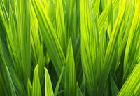 a full frame bright vibrant green glowing sunlit iris leaf nature background
