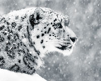 Snow Leopard in Snow Storm V