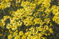 Jakobs-Kreuzkraut oder Jakobs-Greiskraut (Senecio jacobaea)