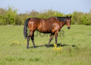Horses graze in the pasture. Paddock horses on a horse farm. Walking horses