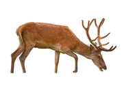 Red deer stag with antlers in velvet isolated on white background