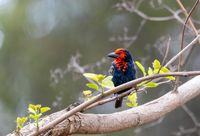 Black-billed Barbet, Ethiopia wildlife