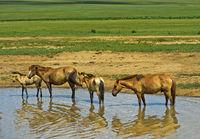 Eine Herde Pferde sucht Abkühlung in einem Tümpel