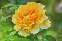 Yellow Rose over Green