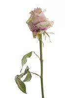 Vertrocknete Rose stehend vor weißem Hintergrund
