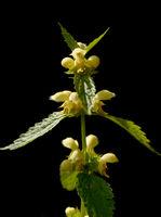 Goldnessel, Lamium galeobdolon