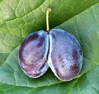 Echte Zwetschge, Prunus domestica subsp. domestica, Mutation