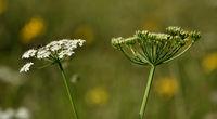 Wiesen-Baerenklau; Heracleum sphondylium; mit Insekt auf Bluetendolde