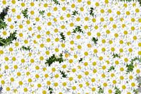Lovely blossom daisy flowers background group of chamomile flower heads, cute white design