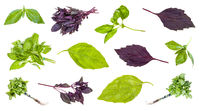 various leaves and twigs of basil plants isolated