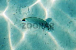 Fisch - Palombaggia - Tamaricciu - Korsika
