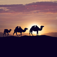 Bactrian camels in desert at sunset