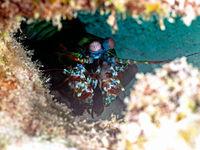 Mantis Shrimp (Odontodactylus scyllarus)