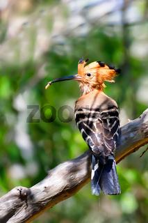 Madagascan hoopoe Madagascar wildlife bird