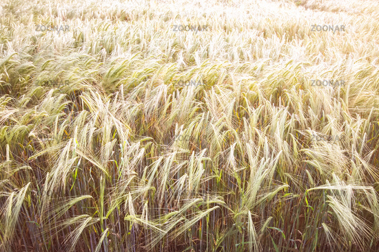 typical wheat field background
