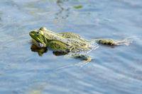 Swimming green frog
