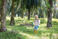spraying herbicides at oil palm estate