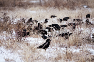 flock of rooks fed on snow-covered fallow field